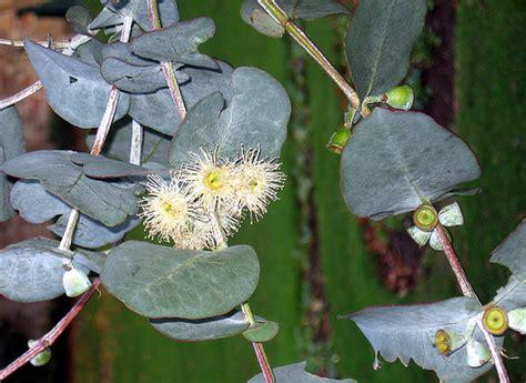 growing eucalyptus indoors how to grow eucalyptus indoors garden guides