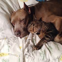 cat shows us lessons in cuddling pit bulls and tabby cat show us how