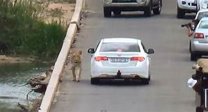 Only in Africa: Lion Causes Traffic Jam [VIDEO]