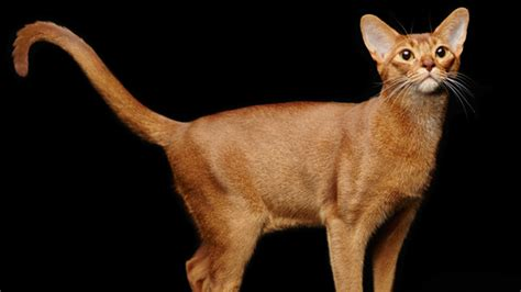 abyssinian cats facts agile shape istock mentalfloss