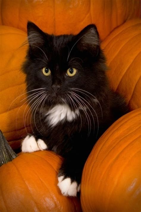 2054 Best Halloween Cats Images On Pinterest Cats