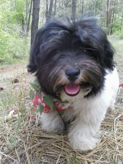Do Bichon Havanese Shed by 17 Best Images About 243 N Habanero On Puppys