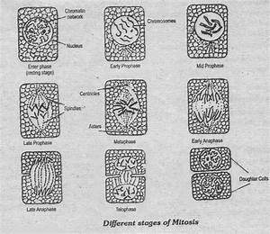 Notes Guide Book  Describe The Different Phases Of Mitosis