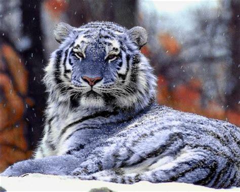 Amazing World The Rarest Blue Maltese Tiger