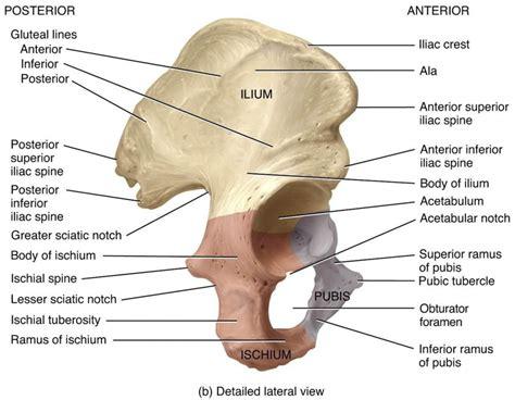 anatomy of hip bones human body anatomy system
