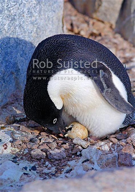 hatching egg  adelie penguin  breeding colony