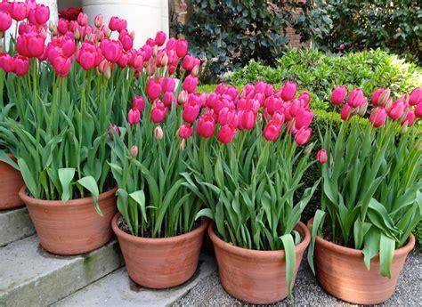 Tulpen Pflanzen Balkon by Tulpen Im Topf 187 So F 252 Hlen Sie Sich Rundum Wohl
