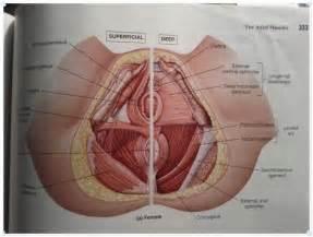 pelvic floor muscles anatomy human anatomy system