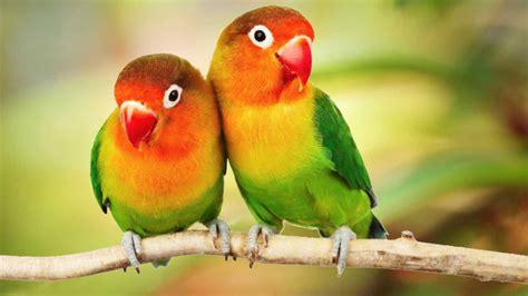 Beautiful Colorful Love Birds