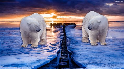 Polar Bear Wallpapers Hd Backgrounds, Images, Pics, Photos
