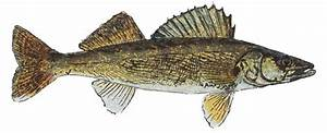 The gallery for --> Walleye Drawing