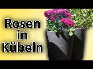 Pflanzkübel Für Rosen : rosen richtig in balkon terrassen k bel blument pfe ~ A.2002-acura-tl-radio.info Haus und Dekorationen