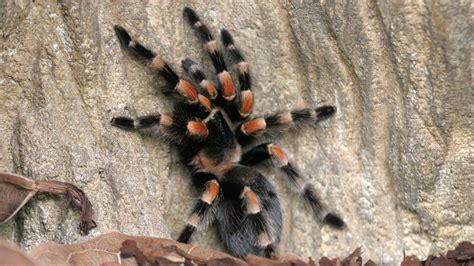 Spinnen Spinnen Als Haustiere?  Spinnen  Insekten Und