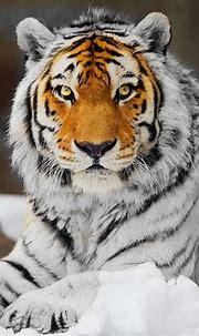 White Tiger with Orange Face. Unique! | Tiger spirit ...