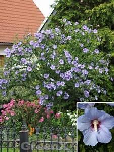 Hibiskus Stämmchen Kaufen : hibiscus syriacus 39 oiseau bleu 39 roseneibisch g nstig kaufen ~ Buech-reservation.com Haus und Dekorationen