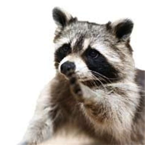country lore how to repel raccoons organic gardening