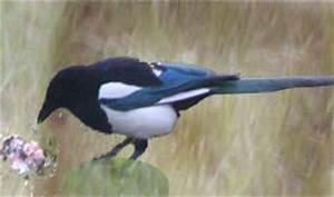 Elster Vogel Vertreiben : das umweltb ro am wei en see umwelttipps und umweltbl tter ~ Lizthompson.info Haus und Dekorationen