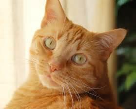 tabby cat orange orange cat free beautiful wallpaper for your
