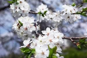 Baum Mit Blüten : bl hender baum mit wei en bl ten im fr hjahr stockfoto colourbox ~ Frokenaadalensverden.com Haus und Dekorationen