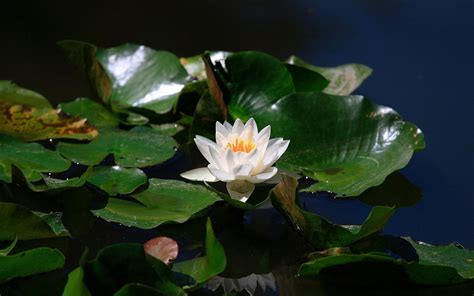 lotus wallpaper hd download