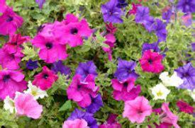 welche pflanzen mö bienen nicht deine balkonblumen retter f 252 r bienen und hummeln gaias kinder