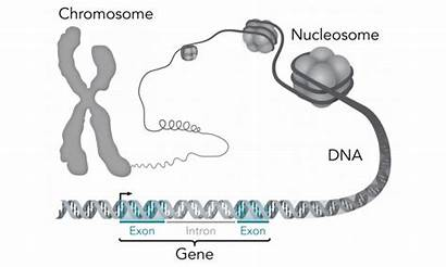 Gene Genes Diagram Dna Genetic Chromosome Structure
