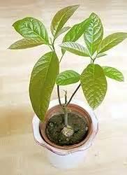 Avocado Pflanze Richtig Schneiden : 25 best ideas about avocadobaum on pinterest avocado ~ Lizthompson.info Haus und Dekorationen