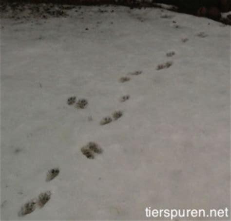 Waschbär Fährten Im Garten?