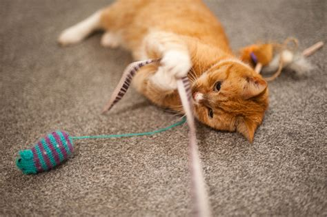 cat play how to play with your cat for feline human bonding