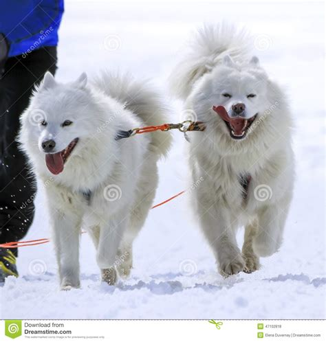 Sled Samoyed Dogs In Speed Racing Moss Stock Photo