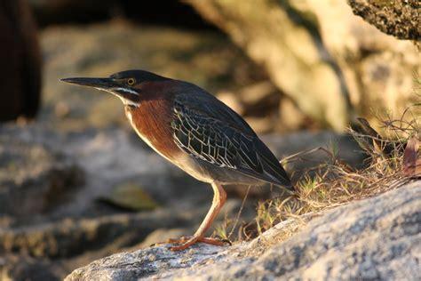 hawkys blog water birds