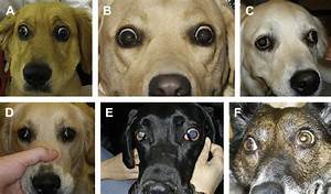 Cases Of Canine Eom    A   Case 7 Shows Increased Superior