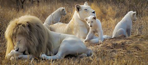 Global White Lion TrustWhite Lions - All the facts and