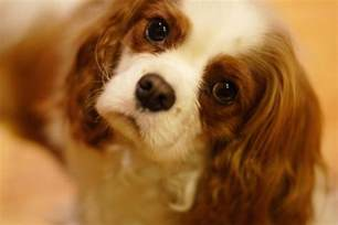 top 10 non shedding dogs the 18 breeds least likely