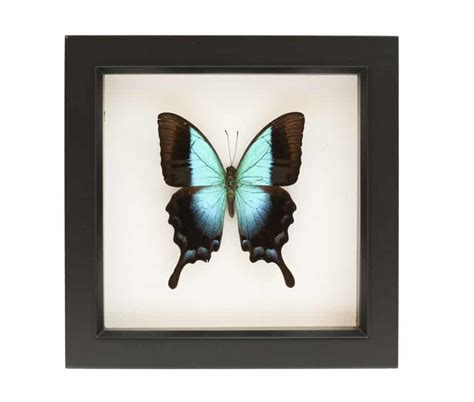mounted butterfly specimens papilio pericles bug