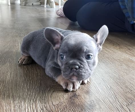 french bulldog puppies  sale