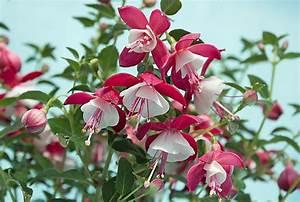 Winterharte Fuchsien Kaufen : fuchsie stehend fuchsia cultivars g nstig online kaufen ~ Eleganceandgraceweddings.com Haus und Dekorationen
