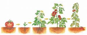 Life Cycle Of A Determinate Tomato Plant  Link 1