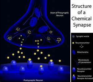 The Chemical Synaptic Transmission