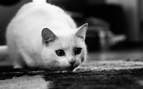Munchkin Cat Wallpapers Hd Download