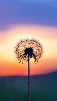 Dandelion Make A Wish - The iPhone Wallpapers