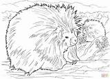 Porcupine Coloring Porcupines Pages American North Printable Animals Supercoloring Wildlife Getcoloringpages Results Coloringbay Cartoon Animal Kidsuki sketch template