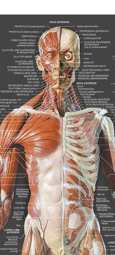 See more ideas about muscle names, workout, get in shape. AnatomyTools