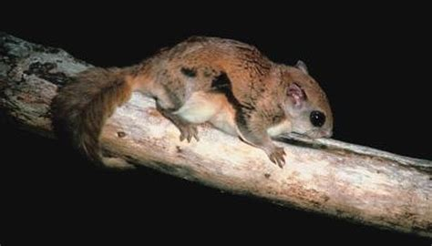 colors  flying squirrels animals momme