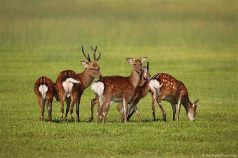 assateague island sitka deer picture