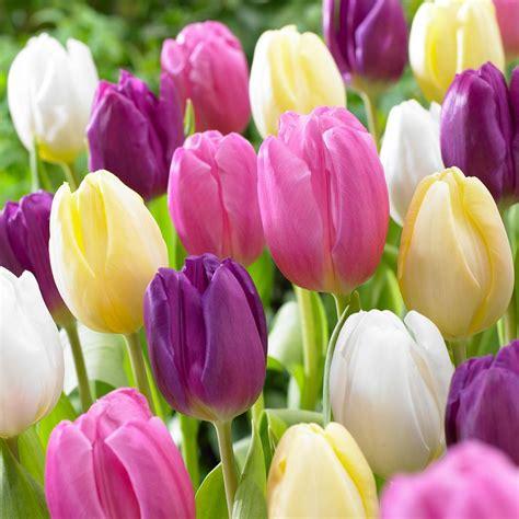 pictures  tulips wallpaperzenorg
