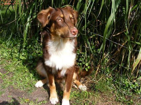 der grosse australian shepherd dog foto thread teil