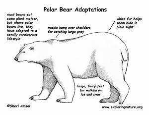 Adaptations of the Polar Bear