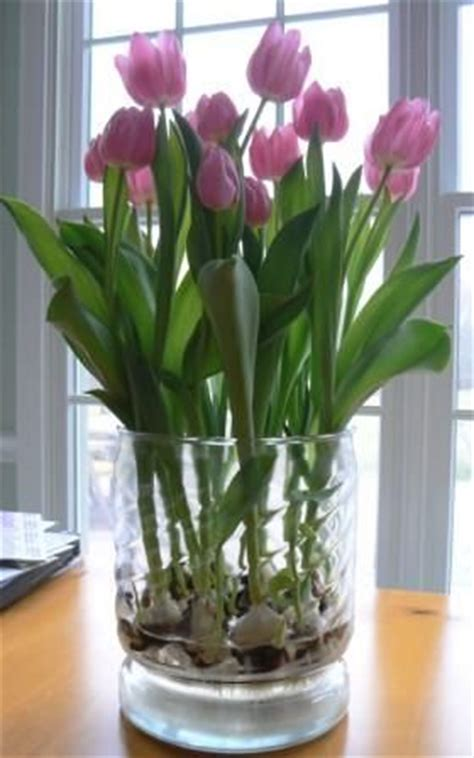 tulips grown in a glass vase quot tulips to be quot in a wide