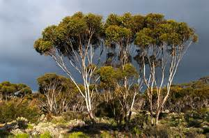 nullarbor trees a photo from western australia west trekearth